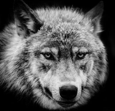 Фотообои Глаза волка, Черно-белая голова выстрел волка.
