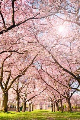 Фотообои Farbe де Frühlings: Garten мит Japanischen Kirschblüten :)