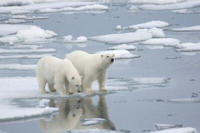 Фотообои Female Polar Bear with Yearling Cub
