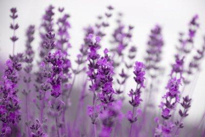 Фотообои Поле лаванды цветы
