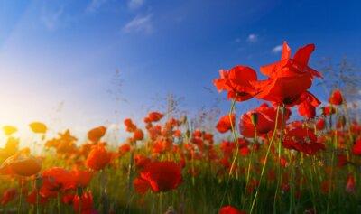 Фотообои Field of poppies at sunrise