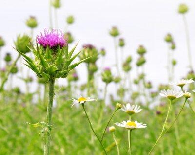 Фотообои Поле с Расторопша пятнистая (Молочный чертополох), лекарственные растения.