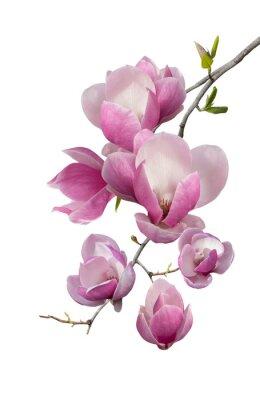 Фотообои Flowering branch of magnolia