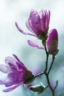 Фотообои Цветет магнолия розовые