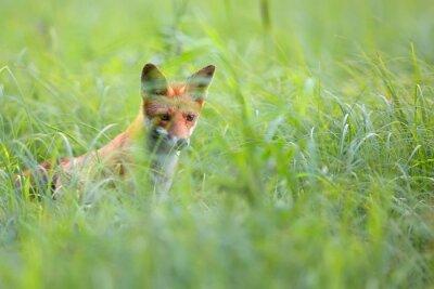 Фотообои Фокс скрытые в траве в дикой природе