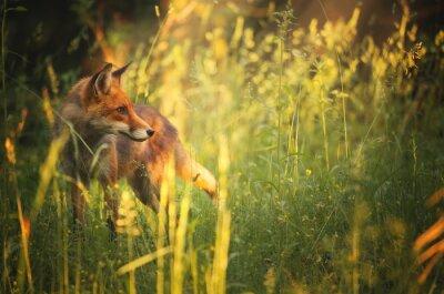 Фотообои Фокс на летнем лесу