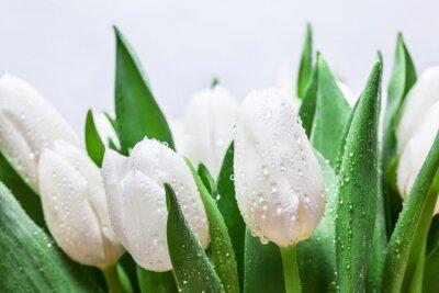 Фотообои Свежий белый тюльпан букет с каплями воды крупным планом на белом фоне. весна