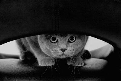 Фотообои Забавный шотландский кот с большими круглыми глазами, глядя через отверстие (в черно-белом, ретро-стиле)