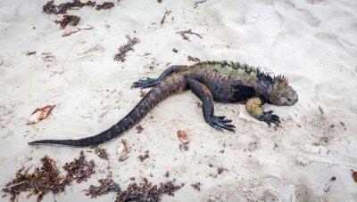Фотообои Галапагосские морская игуана