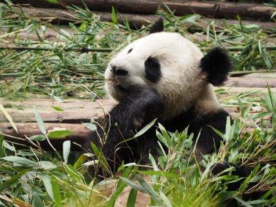 Фотообои Giant Panda едят бамбук в Чэнду провинции Сычуань Китая