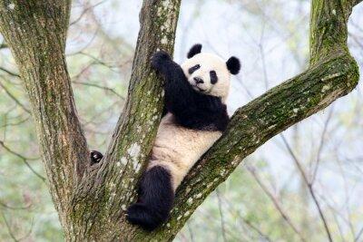 Фотообои Giant Panda Сидя в дереве, Сычуани, Китай