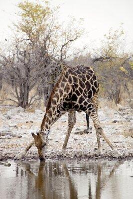 Фотообои Жираф, Giraffa Жирафа в национальном парке Этоша, Намибия