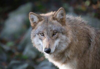 Фотообои Grauer Wolf Портрет 3