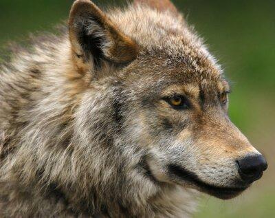 Фотообои Серый волк голову выстрел.