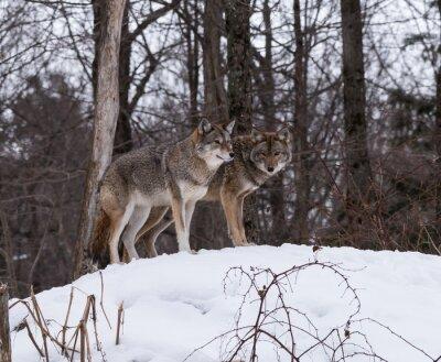 Фотообои Серый или Серые волки