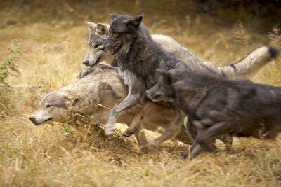 Фотообои Серый волк обновления на Play