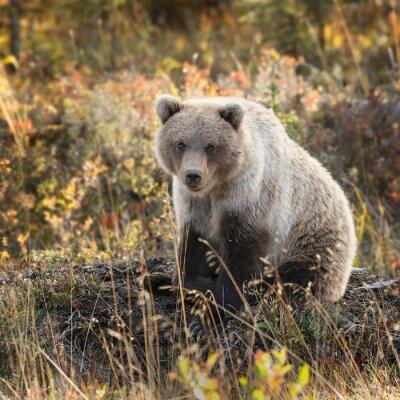 Фотообои Grizzly медведь в осенние цвета на Аляске