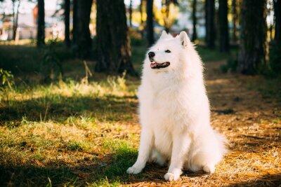 Фотообои Счастливый белый самоед собака на открытом воздухе в лесу