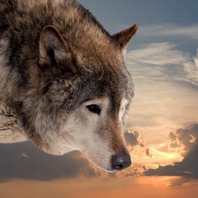 Фотообои Голова волка против закат небо