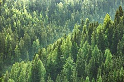 Фотообои Здоровые зеленые деревья в лесу старой ели, пихты и сосны