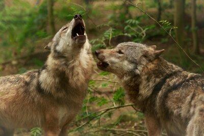 Фотообои Вой волков