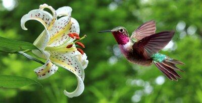 Фотообои Hummingbird парит рядом с цветами лилии панорамным видом