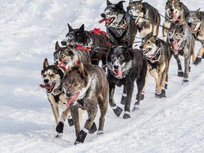 Фотообои ездовых собак Iditarod