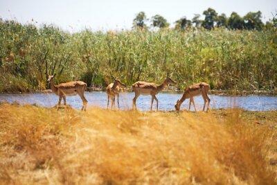 Фотообои Impala, Aepyceros Мелампод, Бвабвата, Намибия