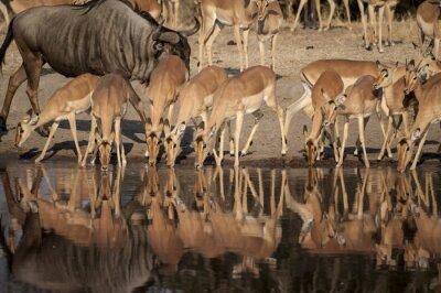 Фотообои Impala (Aepyceros Мелампод)-дель-Timbavati заповедник в Африке Sud