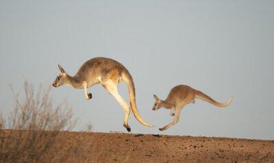 Фотообои кенгуру в национальном парке Стёрта, Новый Южный Уэльс, Австралия