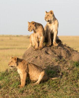 Фотообои Кения, Африка, Масаи Мара заповедник, женщина лев с медвежатами.