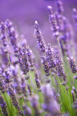 Фотообои Lavander цветы