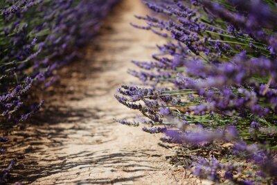 Фотообои Лаванда цветок расцветает поля в Провансе, Франция