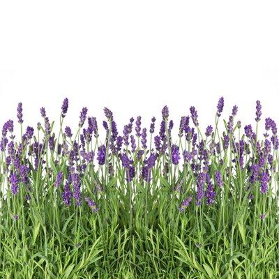 Фотообои цветки лаванды, изолированных на белом