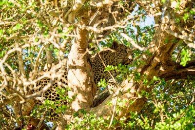 Фотообои Leopard тайник в дереве