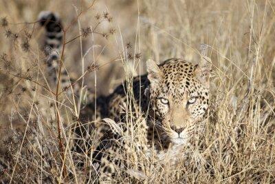 Фотообои Leopard движется через бушвелд