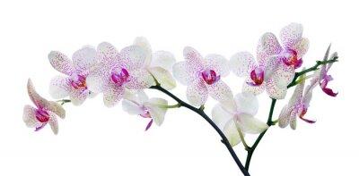 Фотообои светлый цвет цветок орхидеи в розовых пятен на белом
