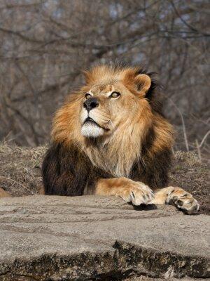 Фотообои Лев вглядываясь в небо