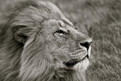 Фотообои Лев глядя через саванну