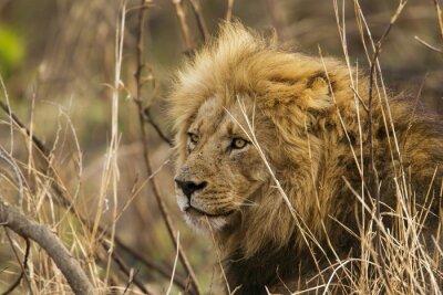 Фотообои Лев в Национальный парк Крюгера