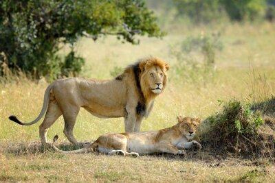Фотообои Лев в национальном парке Кении, Африка