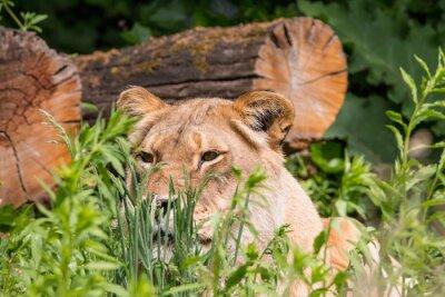 Фотообои Львица в траве