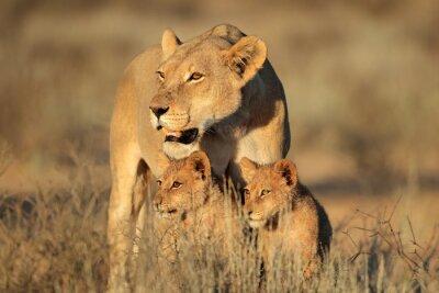 Фотообои Львица с молодыми медвежатами лев (Panthera НОО) в раннем утреннем свете, пустыни Калахари, Южная Африка.