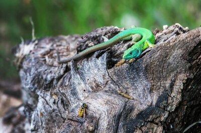 Фотообои Ящерица охотится насекомое