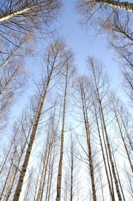 Фотообои Глядя вверх белые стволы группы голых деревьев березы