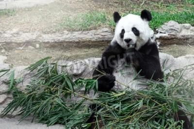 Фотообои Прекрасный панды едят бамбук