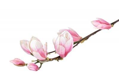Фотообои Магнолия цветок филиал, изолированные на белом фоне
