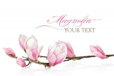 Фотообои Магнолия цветок на белом фоне