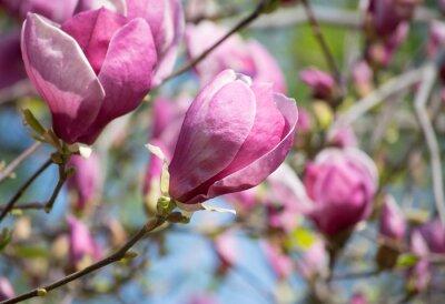 Фотообои цветы магнолии