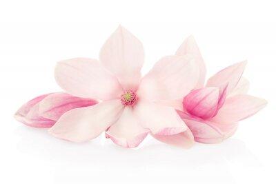 Фотообои Магнолия, розовые цветы и бутоны группа на белом фоне, отсечения путь
